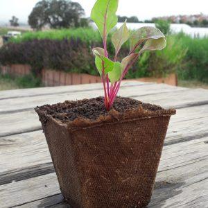 planta acelga de colores