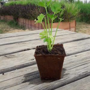 planta apio nabo