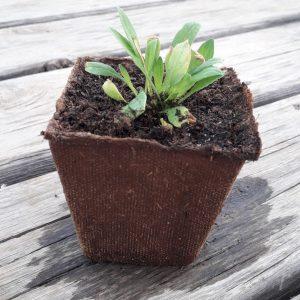 planta espinacas